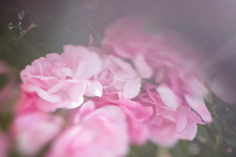 Květiny se spoustou efektů běžně hodnocených jako optické chyby. Canon EOS 5D Mark II, Sigma 50 mm F1,4, 1/1600 s, F1,4, ISO 50, ohnisko 50 mm.